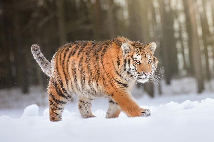 Tiger sibírsky
