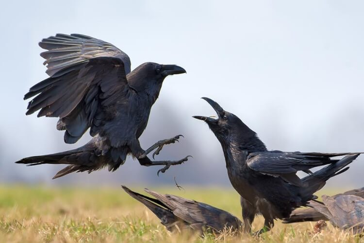 krkavce čierne