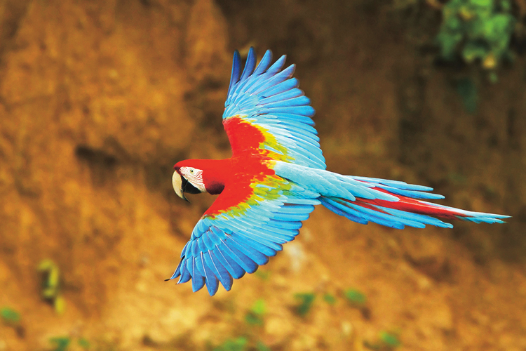letiaca ara zelenokrídla
